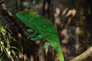 Chameleon of Madagascar