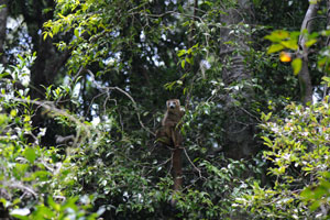 Keep looking upwards into the forest canopy  for these  Crowned lemurs